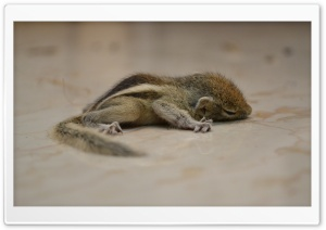 Sleeping Squirrel HD Wide Wallpaper for 4K UHD Widescreen desktop & smartphone