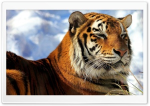 Sleepy Amur Tiger HD Wide Wallpaper for Widescreen