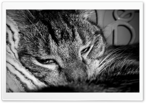 Sleepy Cat HD Wide Wallpaper for Widescreen