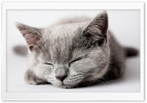 Sleepy Grey Kitten HD Wide Wallpaper for Widescreen