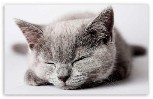 Sleepy Grey Kitten HD wallpaper for Wide 16:10 5:3 Widescreen WHXGA WQXGA WUXGA WXGA WGA ; HD 16:9 High Definition WQHD QWXGA 1080p 900p 720p QHD nHD ; Standard 4:3 5:4 3:2 Fullscreen UXGA XGA SVGA QSXGA SXGA DVGA HVGA HQVGA devices ( Apple PowerBook G4 iPhone 4 3G 3GS iPod Touch ) ; Tablet 1:1 ; iPad 1/2/Mini ; Mobile 4:3 5:3 3:2 16:9 5:4 - UXGA XGA SVGA WGA DVGA HVGA HQVGA devices ( Apple PowerBook G4 iPhone 4 3G 3GS iPod Touch ) WQHD QWXGA 1080p 900p 720p QHD nHD QSXGA SXGA ;