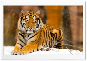 Sleepy Siberian Tiger Wild Animal HD Wide Wallpaper for Widescreen
