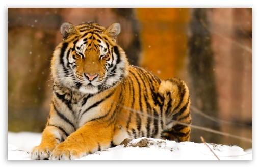 Sleepy Siberian Tiger Wild Animal HD wallpaper for Wide 16:10 5:3 Widescreen WHXGA WQXGA WUXGA WXGA WGA ; HD 16:9 High Definition WQHD QWXGA 1080p 900p 720p QHD nHD ; Standard 4:3 5:4 3:2 Fullscreen UXGA XGA SVGA QSXGA SXGA DVGA HVGA HQVGA devices ( Apple PowerBook G4 iPhone 4 3G 3GS iPod Touch ) ; iPad 1/2/Mini ; Mobile 4:3 5:3 3:2 16:9 5:4 - UXGA XGA SVGA WGA DVGA HVGA HQVGA devices ( Apple PowerBook G4 iPhone 4 3G 3GS iPod Touch ) WQHD QWXGA 1080p 900p 720p QHD nHD QSXGA SXGA ;