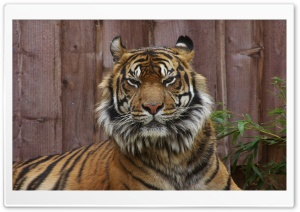 Sleepy Tiger HD Wide Wallpaper for Widescreen