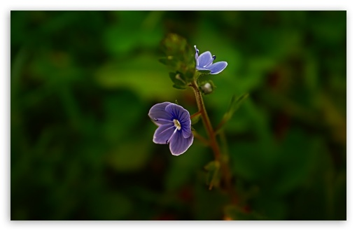 Small Blue Flower ❤ 4K UHD Wallpaper for Wide 16:10 5:3 Widescreen WHXGA WQXGA WUXGA WXGA WGA ; 4K UHD 16:9 Ultra High Definition 2160p 1440p 1080p 900p 720p ; Standard 4:3 5:4 3:2 Fullscreen UXGA XGA SVGA QSXGA SXGA DVGA HVGA HQVGA ( Apple PowerBook G4 iPhone 4 3G 3GS iPod Touch ) ; Tablet 1:1 ; iPad 1/2/Mini ; Mobile 4:3 5:3 3:2 16:9 5:4 - UXGA XGA SVGA WGA DVGA HVGA HQVGA ( Apple PowerBook G4 iPhone 4 3G 3GS iPod Touch ) 2160p 1440p 1080p 900p 720p QSXGA SXGA ; Dual 5:4 QSXGA SXGA ;
