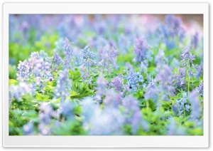 Small Blue Flowers HD Wide Wallpaper for Widescreen
