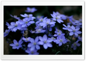 Small Blue Flowers HD Wide Wallpaper for 4K UHD Widescreen desktop & smartphone