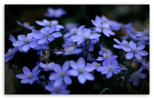 Small Blue Flowers ❤ 4K UHD Wallpaper for Wide 16:10 5:3 Widescreen WHXGA WQXGA WUXGA WXGA WGA ; 4K UHD 16:9 Ultra High Definition 2160p 1440p 1080p 900p 720p ; UHD 16:9 2160p 1440p 1080p 900p 720p ; Standard 4:3 5:4 3:2 Fullscreen UXGA XGA SVGA QSXGA SXGA DVGA HVGA HQVGA ( Apple PowerBook G4 iPhone 4 3G 3GS iPod Touch ) ; Tablet 1:1 ; iPad 1/2/Mini ; Mobile 4:3 5:3 3:2 16:9 5:4 - UXGA XGA SVGA WGA DVGA HVGA HQVGA ( Apple PowerBook G4 iPhone 4 3G 3GS iPod Touch ) 2160p 1440p 1080p 900p 720p QSXGA SXGA ; Dual 16:10 5:3 16:9 4:3 5:4 WHXGA WQXGA WUXGA WXGA WGA 2160p 1440p 1080p 900p 720p UXGA XGA SVGA QSXGA SXGA ;