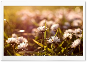 Small Daisies HD Wide Wallpaper for Widescreen