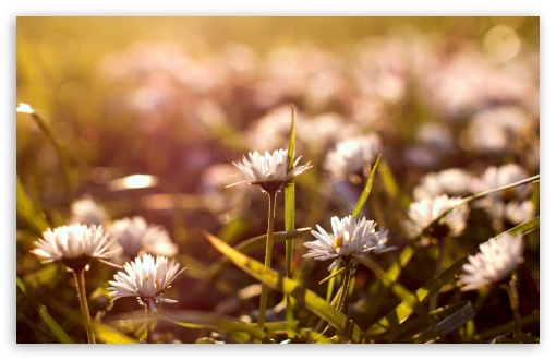 Small Daisies HD wallpaper for Wide 16:10 5:3 Widescreen WHXGA WQXGA WUXGA WXGA WGA ; HD 16:9 High Definition WQHD QWXGA 1080p 900p 720p QHD nHD ; UHD 16:9 WQHD QWXGA 1080p 900p 720p QHD nHD ; Standard 4:3 5:4 3:2 Fullscreen UXGA XGA SVGA QSXGA SXGA DVGA HVGA HQVGA devices ( Apple PowerBook G4 iPhone 4 3G 3GS iPod Touch ) ; Tablet 1:1 ; iPad 1/2/Mini ; Mobile 4:3 5:3 3:2 16:9 5:4 - UXGA XGA SVGA WGA DVGA HVGA HQVGA devices ( Apple PowerBook G4 iPhone 4 3G 3GS iPod Touch ) WQHD QWXGA 1080p 900p 720p QHD nHD QSXGA SXGA ; Dual 16:10 4:3 5:4 WHXGA WQXGA WUXGA WXGA UXGA XGA SVGA QSXGA SXGA ;