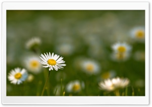 Small Daisies HD Wide Wallpaper for 4K UHD Widescreen desktop & smartphone