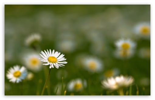 Small Daisies ❤ 4K UHD Wallpaper for Wide 16:10 5:3 Widescreen WHXGA WQXGA WUXGA WXGA WGA ; 4K UHD 16:9 Ultra High Definition 2160p 1440p 1080p 900p 720p ; Standard 4:3 5:4 3:2 Fullscreen UXGA XGA SVGA QSXGA SXGA DVGA HVGA HQVGA ( Apple PowerBook G4 iPhone 4 3G 3GS iPod Touch ) ; Tablet 1:1 ; iPad 1/2/Mini ; Mobile 4:3 5:3 3:2 16:9 5:4 - UXGA XGA SVGA WGA DVGA HVGA HQVGA ( Apple PowerBook G4 iPhone 4 3G 3GS iPod Touch ) 2160p 1440p 1080p 900p 720p QSXGA SXGA ; Dual 16:10 5:3 16:9 4:3 5:4 WHXGA WQXGA WUXGA WXGA WGA 2160p 1440p 1080p 900p 720p UXGA XGA SVGA QSXGA SXGA ;