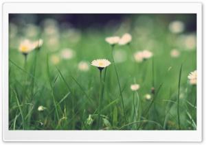 Small Daisies Macro HD Wide Wallpaper for Widescreen