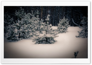 Small Fir Trees, Winter Ultra HD Wallpaper for 4K UHD Widescreen desktop, tablet & smartphone