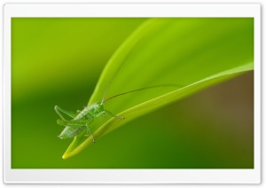 Small Grasshopper HD Wide Wallpaper for Widescreen