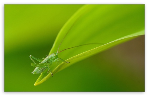 Small Grasshopper HD wallpaper for Wide 16:10 5:3 Widescreen WHXGA WQXGA WUXGA WXGA WGA ; HD 16:9 High Definition WQHD QWXGA 1080p 900p 720p QHD nHD ; Standard 4:3 5:4 3:2 Fullscreen UXGA XGA SVGA QSXGA SXGA DVGA HVGA HQVGA devices ( Apple PowerBook G4 iPhone 4 3G 3GS iPod Touch ) ; Tablet 1:1 ; iPad 1/2/Mini ; Mobile 4:3 5:3 3:2 16:9 5:4 - UXGA XGA SVGA WGA DVGA HVGA HQVGA devices ( Apple PowerBook G4 iPhone 4 3G 3GS iPod Touch ) WQHD QWXGA 1080p 900p 720p QHD nHD QSXGA SXGA ;