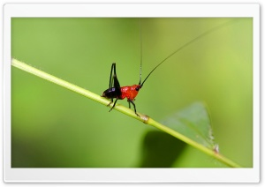 Small Grasshopper Macro HD Wide Wallpaper for Widescreen