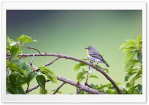 Small Gray Bird HD Wide Wallpaper for Widescreen