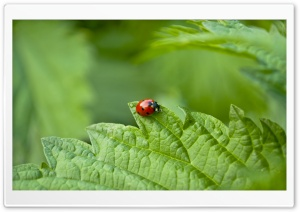 Small Ladybug HD Wide Wallpaper for Widescreen