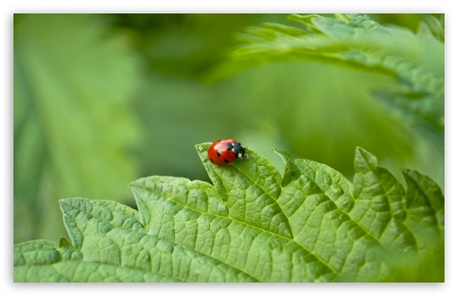 Small Ladybug HD wallpaper for Wide 16:10 5:3 Widescreen WHXGA WQXGA WUXGA WXGA WGA ; HD 16:9 High Definition WQHD QWXGA 1080p 900p 720p QHD nHD ; UHD 16:9 WQHD QWXGA 1080p 900p 720p QHD nHD ; Standard 4:3 5:4 3:2 Fullscreen UXGA XGA SVGA QSXGA SXGA DVGA HVGA HQVGA devices ( Apple PowerBook G4 iPhone 4 3G 3GS iPod Touch ) ; Tablet 1:1 ; iPad 1/2/Mini ; Mobile 4:3 5:3 3:2 16:9 5:4 - UXGA XGA SVGA WGA DVGA HVGA HQVGA devices ( Apple PowerBook G4 iPhone 4 3G 3GS iPod Touch ) WQHD QWXGA 1080p 900p 720p QHD nHD QSXGA SXGA ; Dual 16:10 5:3 16:9 4:3 5:4 WHXGA WQXGA WUXGA WXGA WGA WQHD QWXGA 1080p 900p 720p QHD nHD UXGA XGA SVGA QSXGA SXGA ;