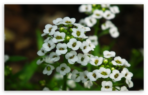 Small Little White Flowers HD wallpaper for Wide 16:10 5:3 Widescreen WHXGA WQXGA WUXGA WXGA WGA ; HD 16:9 High Definition WQHD QWXGA 1080p 900p 720p QHD nHD ; Standard 4:3 5:4 3:2 Fullscreen UXGA XGA SVGA QSXGA SXGA DVGA HVGA HQVGA devices ( Apple PowerBook G4 iPhone 4 3G 3GS iPod Touch ) ; Tablet 1:1 ; iPad 1/2/Mini ; Mobile 4:3 5:3 3:2 16:9 5:4 - UXGA XGA SVGA WGA DVGA HVGA HQVGA devices ( Apple PowerBook G4 iPhone 4 3G 3GS iPod Touch ) WQHD QWXGA 1080p 900p 720p QHD nHD QSXGA SXGA ;