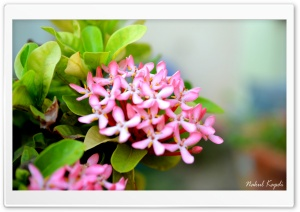 Small Pink Flower HD Wide Wallpaper for Widescreen