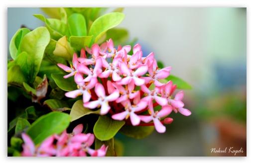 Small Pink Flower Hd Wallpaper