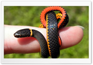 Small Snake Ultra HD Wallpaper for 4K UHD Widescreen desktop, tablet & smartphone