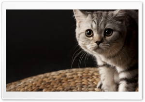 Small Striped Cat HD Wide Wallpaper for Widescreen