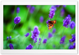 Small Tortoiseshell Butterfly, Lavender Flowers Ultra HD Wallpaper for 4K UHD Widescreen desktop, tablet & smartphone