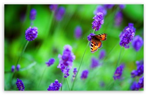 Small Tortoiseshell Butterfly, Lavender Flowers UltraHD Wallpaper for Wide 16:10 5:3 Widescreen WHXGA WQXGA WUXGA WXGA WGA ; UltraWide 21:9 24:10 ; 8K UHD TV 16:9 Ultra High Definition 2160p 1440p 1080p 900p 720p ; UHD 16:9 2160p 1440p 1080p 900p 720p ; Standard 4:3 5:4 3:2 Fullscreen UXGA XGA SVGA QSXGA SXGA DVGA HVGA HQVGA ( Apple PowerBook G4 iPhone 4 3G 3GS iPod Touch ) ; Smartphone 16:9 3:2 5:3 2160p 1440p 1080p 900p 720p DVGA HVGA HQVGA ( Apple PowerBook G4 iPhone 4 3G 3GS iPod Touch ) WGA ; Tablet 1:1 ; iPad 1/2/Mini ; Mobile 4:3 5:3 3:2 16:9 5:4 - UXGA XGA SVGA WGA DVGA HVGA HQVGA ( Apple PowerBook G4 iPhone 4 3G 3GS iPod Touch ) 2160p 1440p 1080p 900p 720p QSXGA SXGA ; Dual 16:10 5:3 16:9 4:3 5:4 3:2 WHXGA WQXGA WUXGA WXGA WGA 2160p 1440p 1080p 900p 720p UXGA XGA SVGA QSXGA SXGA DVGA HVGA HQVGA ( Apple PowerBook G4 iPhone 4 3G 3GS iPod Touch ) ;