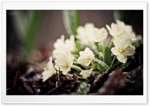 Small White Flowers HD Wide Wallpaper for Widescreen