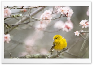 Small Yellow Bird, Springtime HD Wide Wallpaper for 4K UHD Widescreen desktop & smartphone
