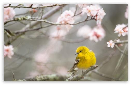 Small Yellow Bird, Springtime UltraHD Wallpaper for Wide 16:10 5:3 Widescreen WHXGA WQXGA WUXGA WXGA WGA ; UltraWide 21:9 24:10 ; 8K UHD TV 16:9 Ultra High Definition 2160p 1440p 1080p 900p 720p ; UHD 16:9 2160p 1440p 1080p 900p 720p ; Standard 4:3 5:4 3:2 Fullscreen UXGA XGA SVGA QSXGA SXGA DVGA HVGA HQVGA ( Apple PowerBook G4 iPhone 4 3G 3GS iPod Touch ) ; Smartphone 16:9 3:2 5:3 2160p 1440p 1080p 900p 720p DVGA HVGA HQVGA ( Apple PowerBook G4 iPhone 4 3G 3GS iPod Touch ) WGA ; Tablet 1:1 ; iPad 1/2/Mini ; Mobile 4:3 5:3 3:2 16:9 5:4 - UXGA XGA SVGA WGA DVGA HVGA HQVGA ( Apple PowerBook G4 iPhone 4 3G 3GS iPod Touch ) 2160p 1440p 1080p 900p 720p QSXGA SXGA ; Dual 16:10 5:3 16:9 4:3 5:4 3:2 WHXGA WQXGA WUXGA WXGA WGA 2160p 1440p 1080p 900p 720p UXGA XGA SVGA QSXGA SXGA DVGA HVGA HQVGA ( Apple PowerBook G4 iPhone 4 3G 3GS iPod Touch ) ;