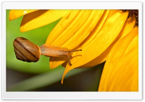 Snail And Sunflower HD Wide Wallpaper for Widescreen