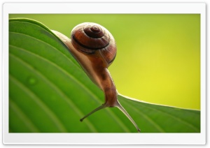 Snail On Leaf HD Wide Wallpaper for Widescreen