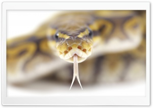 Snake Close Up HD Wide Wallpaper for Widescreen