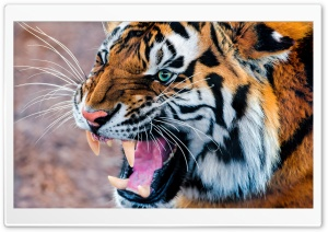 Snarling Tiger HD Wide Wallpaper for Widescreen