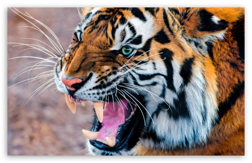 Snarling Tiger HD wallpaper for Wide 16:10 5:3 Widescreen WHXGA WQXGA WUXGA WXGA WGA ; HD 16:9 High Definition WQHD QWXGA 1080p 900p 720p QHD nHD ; UHD 16:9 WQHD QWXGA 1080p 900p 720p QHD nHD ; Standard 4:3 5:4 Fullscreen UXGA XGA SVGA QSXGA SXGA ; MS 3:2 DVGA HVGA HQVGA devices ( Apple PowerBook G4 iPhone 4 3G 3GS iPod Touch ) ; Mobile VGA WVGA iPhone iPad PSP Phone - VGA QVGA Smartphone ( PocketPC GPS iPod Zune BlackBerry HTC Samsung LG Nokia Eten Asus ) WVGA WQVGA Smartphone ( HTC Samsung Sony Ericsson LG Vertu MIO ) HVGA Smartphone ( Apple iPhone iPod BlackBerry HTC Samsung Nokia ) Sony PSP Zune HD Zen ; Tablet 1&2 Android Retina ;