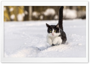 Snow Cats HD Wide Wallpaper for Widescreen