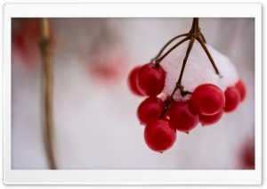 Snow Covered Berries HD Wide Wallpaper for Widescreen