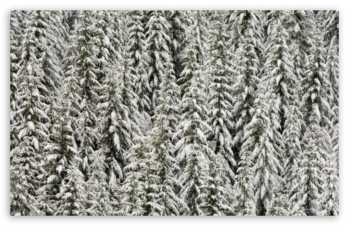 Snow Covered Evergreen Trees ❤ 4K UHD Wallpaper for Wide 16:10 5:3 Widescreen WHXGA WQXGA WUXGA WXGA WGA ; 4K UHD 16:9 Ultra High Definition 2160p 1440p 1080p 900p 720p ; Standard 4:3 5:4 3:2 Fullscreen UXGA XGA SVGA QSXGA SXGA DVGA HVGA HQVGA ( Apple PowerBook G4 iPhone 4 3G 3GS iPod Touch ) ; Tablet 1:1 ; iPad 1/2/Mini ; Mobile 4:3 5:3 3:2 16:9 5:4 - UXGA XGA SVGA WGA DVGA HVGA HQVGA ( Apple PowerBook G4 iPhone 4 3G 3GS iPod Touch ) 2160p 1440p 1080p 900p 720p QSXGA SXGA ;