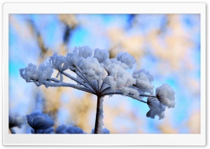 Snow Flowers HD Wide Wallpaper for Widescreen