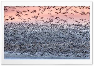 Snow Geese Migration Ultra HD Wallpaper for 4K UHD Widescreen desktop, tablet & smartphone