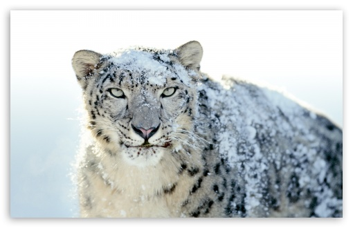 Snow Leopard ❤ 4K UHD Wallpaper for Wide 16:10 5:3 Widescreen WHXGA WQXGA WUXGA WXGA WGA ; 4K UHD 16:9 Ultra High Definition 2160p 1440p 1080p 900p 720p ; Standard 4:3 5:4 3:2 Fullscreen UXGA XGA SVGA QSXGA SXGA DVGA HVGA HQVGA ( Apple PowerBook G4 iPhone 4 3G 3GS iPod Touch ) ; Tablet 1:1 ; iPad 1/2/Mini ; Mobile 4:3 5:3 3:2 16:9 5:4 - UXGA XGA SVGA WGA DVGA HVGA HQVGA ( Apple PowerBook G4 iPhone 4 3G 3GS iPod Touch ) 2160p 1440p 1080p 900p 720p QSXGA SXGA ; Dual 5:4 QSXGA SXGA ;