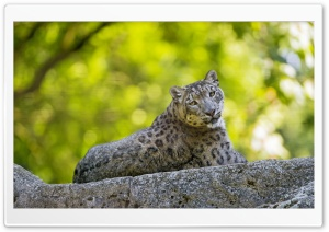 Snow Leopard Ultra HD Wallpaper for 4K UHD Widescreen desktop, tablet & smartphone