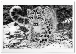 Snow Leopard HD Wide Wallpaper for 4K UHD Widescreen desktop & smartphone