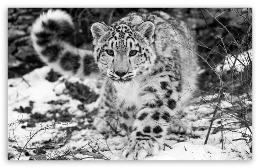 Snow Leopard ❤ 4K UHD Wallpaper for Wide 16:10 5:3 Widescreen WHXGA WQXGA WUXGA WXGA WGA ; 4K UHD 16:9 Ultra High Definition 2160p 1440p 1080p 900p 720p ; Standard 4:3 5:4 3:2 Fullscreen UXGA XGA SVGA QSXGA SXGA DVGA HVGA HQVGA ( Apple PowerBook G4 iPhone 4 3G 3GS iPod Touch ) ; Tablet 1:1 ; iPad 1/2/Mini ; Mobile 4:3 5:3 3:2 16:9 5:4 - UXGA XGA SVGA WGA DVGA HVGA HQVGA ( Apple PowerBook G4 iPhone 4 3G 3GS iPod Touch ) 2160p 1440p 1080p 900p 720p QSXGA SXGA ;