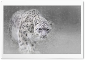 Snow Leopard HD Wide Wallpaper for Widescreen