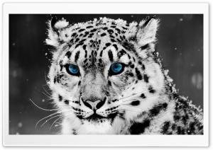 Snow Leopard - Black And White Portrait HD Wide Wallpaper for Widescreen